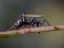ant_contact_lens
